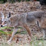 Hidden Benicia: The Coyotes of Southampton