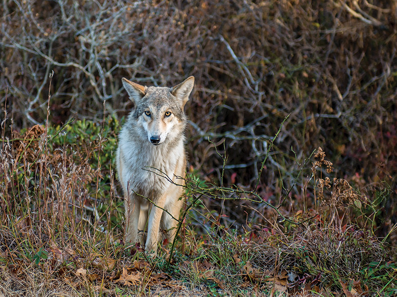 Residents Grapple With Increasing Coyote Presence