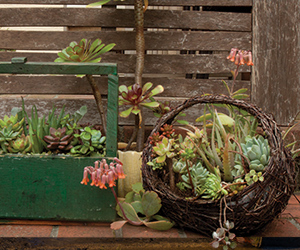 Beautify Your Garden With Water-Wise Succulents