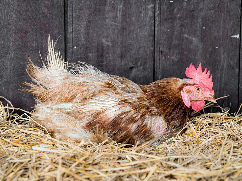 Raising Chickens For Eggs And More