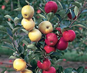 Grafting Fruit Trees For Fun, Faster Harvests & Higher Yield
